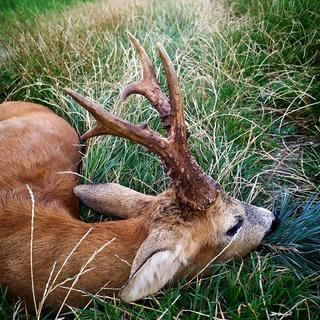 🌲-🐗 16.5. - původní datum začátku lovu srnců. Hodně z nás dodržuje tyto zažité tradice. Přejeme Vám upřímné LOVU ZDAR 🌿 #leslovtrebic #myslivcuvobchod . . #myslivost #hunting #myslivostizdar #lovuzdar #srnec #buckhunting #buckhunter #loveckasezona #lovecky #lovectvi #srnecobecny #oxota #caccia #caza #czechhunter #czechhunting #forest #jagd #polovnictvo